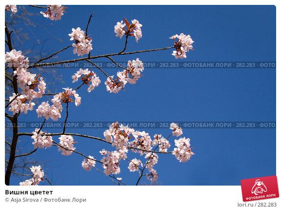 Вишня цветет, фото № 282283, снято 26 апреля 2008 г. (c) Asja Sirova / Фотобанк Лори