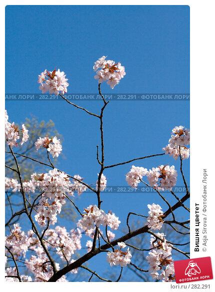 Вишня цветет, фото № 282291, снято 26 апреля 2008 г. (c) Asja Sirova / Фотобанк Лори