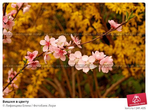 Вишня в цвету, фото № 241435, снято 23 марта 2008 г. (c) Лифанцева Елена / Фотобанк Лори
