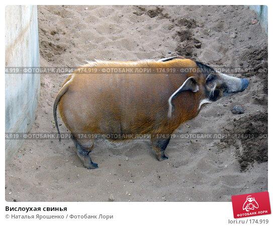 Купить «Вислоухая свинья», фото № 174919, снято 23 сентября 2006 г. (c) Наталья Ярошенко / Фотобанк Лори