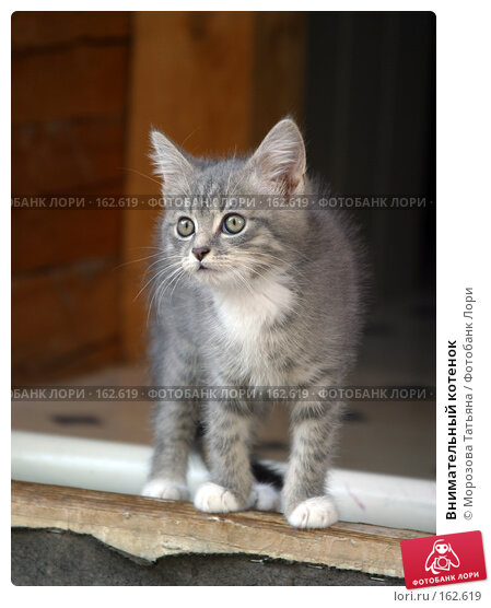Внимательный котенок, фото № 162619, снято 1 сентября 2004 г. (c) Морозова Татьяна / Фотобанк Лори