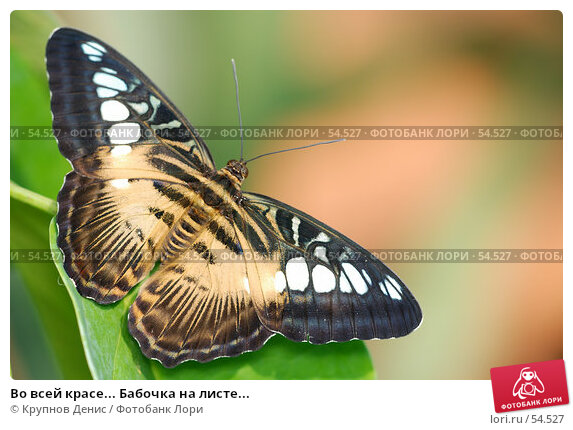 Во всей красе... Бабочка на листе..., фото № 54527, снято 15 мая 2007 г. (c) Крупнов Денис / Фотобанк Лори