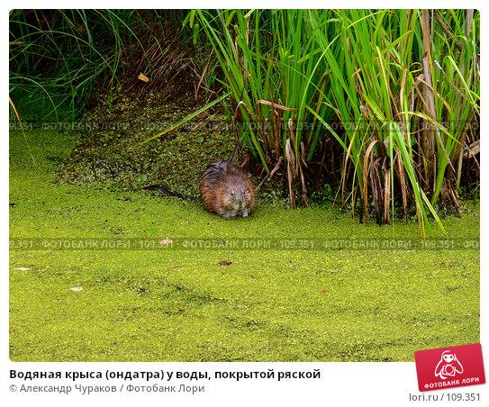 Водяная крыса (ондатра) у воды, покрытой ряской, фото № 109351, снято 1 июля 2006 г. (c) Александр Чураков / Фотобанк Лори