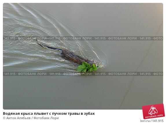 Водяная крыса плывет с пучком травы в зубах, фото № 141915, снято 2 сентября 2006 г. (c) Антон Алябьев / Фотобанк Лори