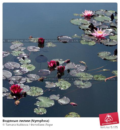 Водяные лилии (Nymphea), фото № 5175, снято 1 июля 2006 г. (c) Tamara Kulikova / Фотобанк Лори