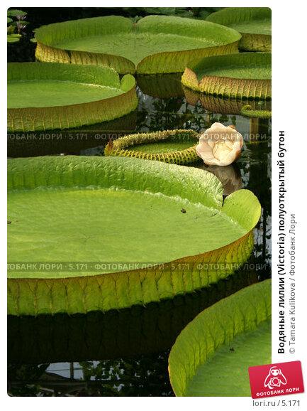 Водяные лилии (Victoria) полуоткрытый бутон, фото № 5171, снято 1 июля 2006 г. (c) Tamara Kulikova / Фотобанк Лори