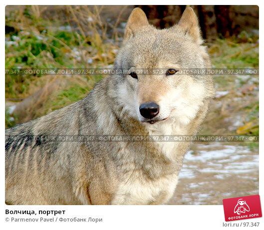 Волчица, портрет, фото № 97347, снято 5 ноября 2006 г. (c) Parmenov Pavel / Фотобанк Лори