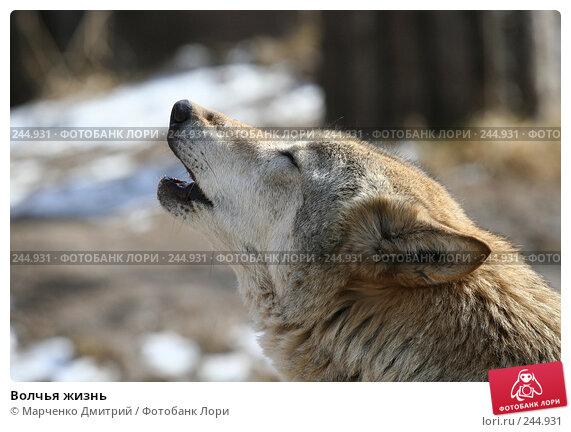 Волчья жизнь, фото № 244931, снято 22 марта 2008 г. (c) Марченко Дмитрий / Фотобанк Лори