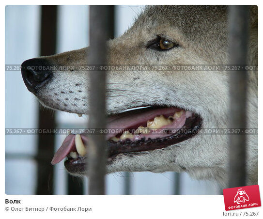 Волк, фото № 75267, снято 11 июня 2006 г. (c) Олег Битнер / Фотобанк Лори