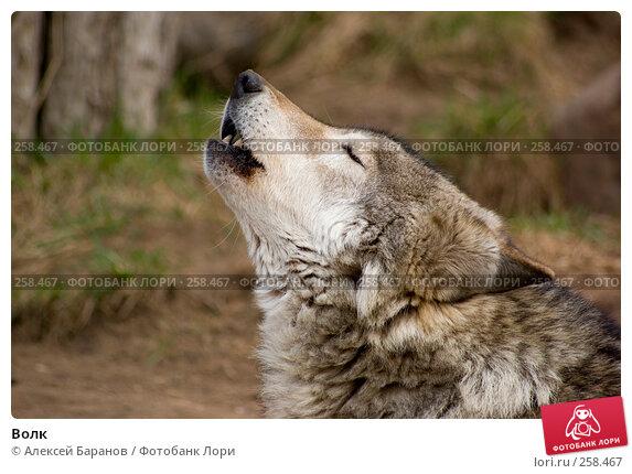 Волк, фото № 258467, снято 10 апреля 2008 г. (c) Алексей Баранов / Фотобанк Лори