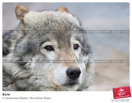 Волк, фото № 267427, снято 8 апреля 2008 г. (c) Смирнова Ирина / Фотобанк Лори