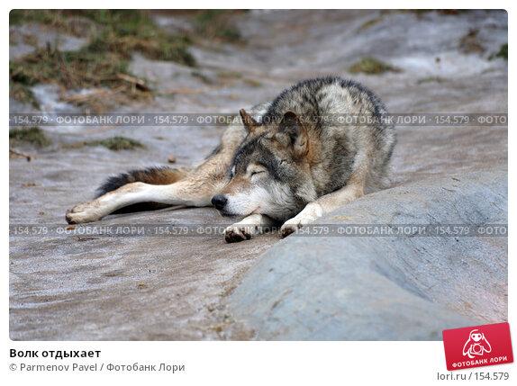Волк отдыхает, фото № 154579, снято 11 декабря 2007 г. (c) Parmenov Pavel / Фотобанк Лори