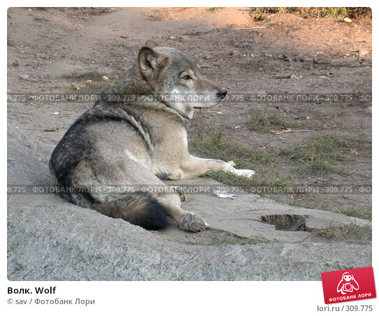 Волк. Wolf, фото № 309775, снято 2 октября 2005 г. (c) sav / Фотобанк Лори
