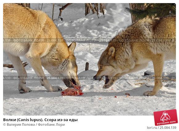 Купить «Волки (Canis lupus). Ссора из-за еды», фото № 25084139, снято 5 февраля 2017 г. (c) Валерия Попова / Фотобанк Лори