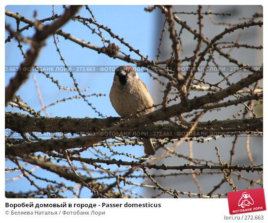 Воробей домовый в городе - Passer domesticus, фото № 272663, снято 17 апреля 2008 г. (c) Беляева Наталья / Фотобанк Лори