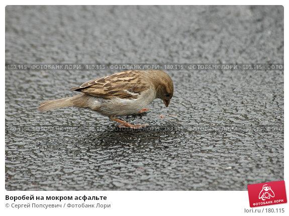 Воробей на мокром асфальте, фото № 180115, снято 9 мая 2005 г. (c) Сергей Попсуевич / Фотобанк Лори