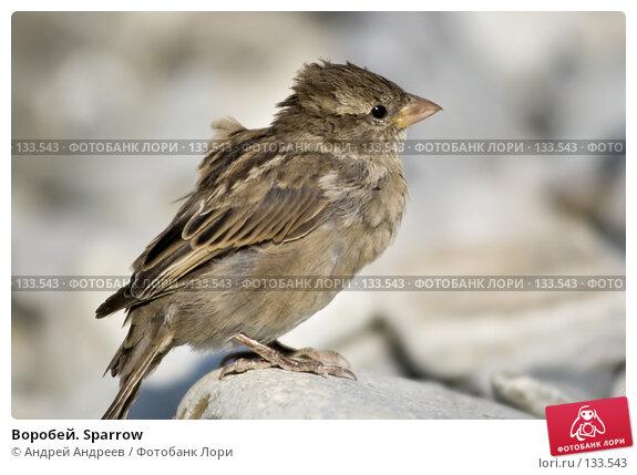 Воробей. Sparrow, фото № 133543, снято 16 сентября 2006 г. (c) Андрей Андреев / Фотобанк Лори