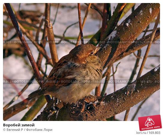 Воробей зимой, фото № 169803, снято 7 января 2008 г. (c) Евгений Р / Фотобанк Лори