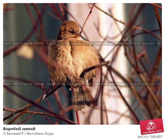 Воробей зимой, фото № 169807, снято 7 января 2008 г. (c) Евгений Р / Фотобанк Лори