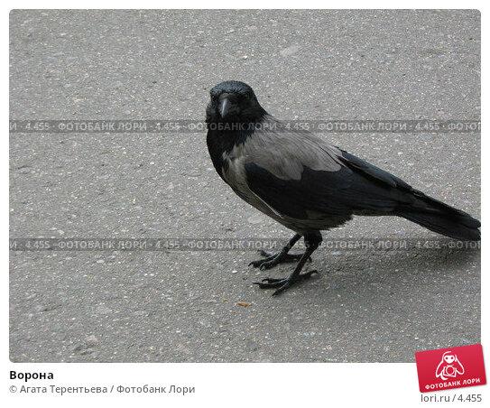 Ворона, фото № 4455, снято 21 мая 2006 г. (c) Агата Терентьева / Фотобанк Лори