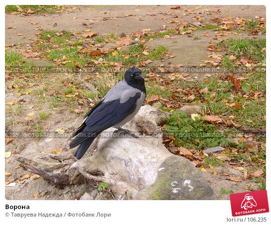 Ворона, фото № 106235, снято 3 июля 2003 г. (c) Тавруева Надежда / Фотобанк Лори