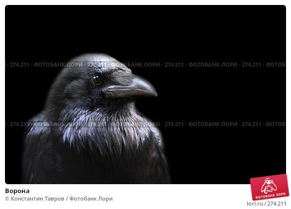 Купить «Ворона», фото № 274211, снято 4 июня 2007 г. (c) Константин Тавров / Фотобанк Лори