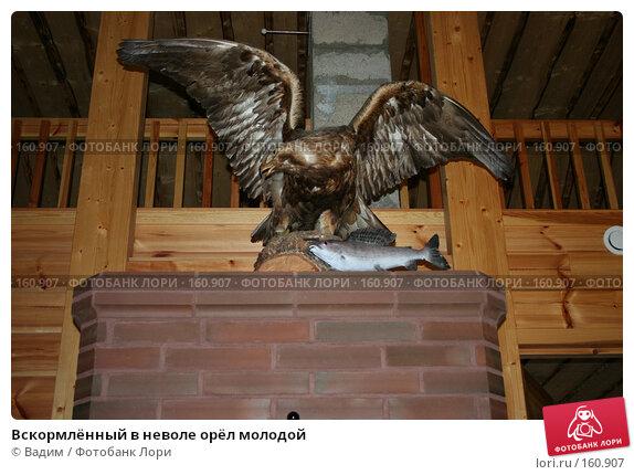Вскормлённый в неволе орёл молодой, фото № 160907, снято 26 октября 2007 г. (c) Вадим / Фотобанк Лори