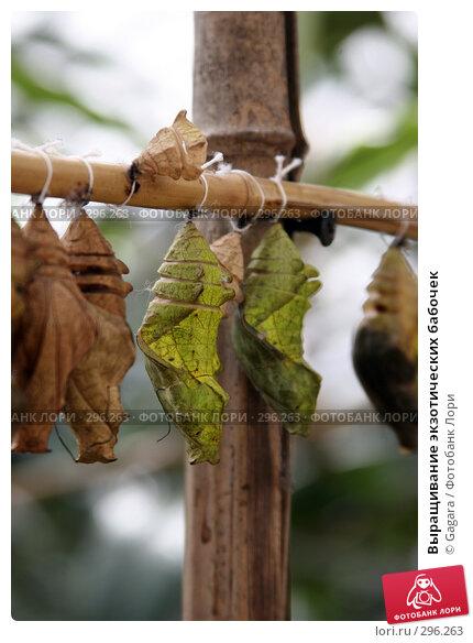 Выращивание экзотических бабочек, фото № 296263, снято 10 мая 2007 г. (c) Gagara / Фотобанк Лори
