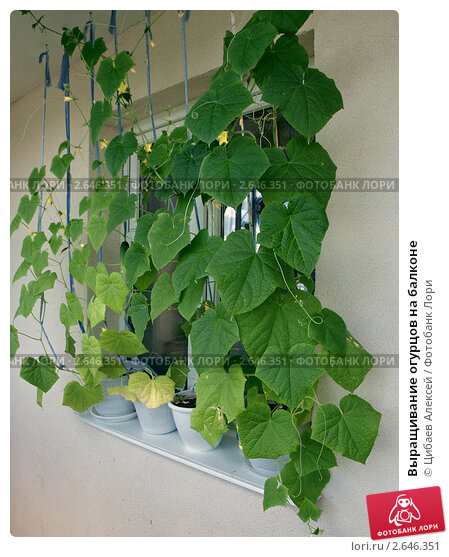 Купить «Выращивание огурцов на балконе», фото № 2646351, снято 8 июля 2011 г. (c) Цибаев Алексей / Фотобанк Лори