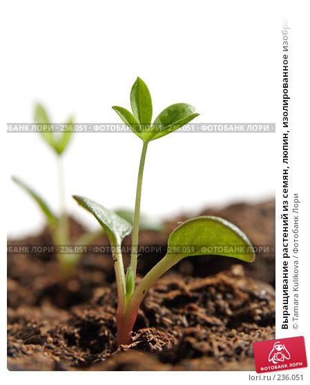 Выращивание растений из семян, люпин, изолированное изображение, фото № 236051, снято 27 марта 2008 г. (c) Tamara Kulikova / Фотобанк Лори