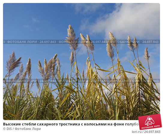 Купить «Высокие стебли сахарного тростника с колосьями на фоне голубого неба», фото № 24697843, снято 12 ноября 2016 г. (c) DiS / Фотобанк Лори