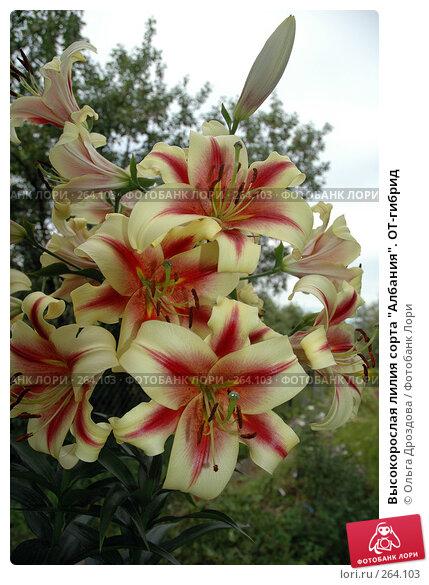 """Высокорослая лилия сорта """"Албания"""". ОТ-гибрид, фото № 264103, снято 7 августа 2005 г. (c) Ольга Дроздова / Фотобанк Лори"""
