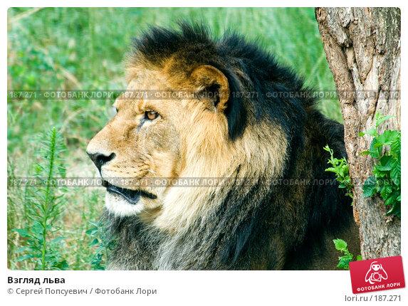 Взгляд льва, фото № 187271, снято 1 июля 2007 г. (c) Сергей Попсуевич / Фотобанк Лори