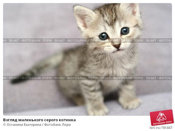 Взгляд маленького серого котенка, фото № 59667, снято 4 июля 2007 г. (c) Останина Екатерина / Фотобанк Лори