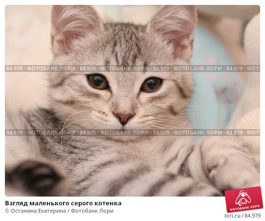Взгляд маленького серого котенка, фото № 84979, снято 5 сентября 2007 г. (c) Останина Екатерина / Фотобанк Лори