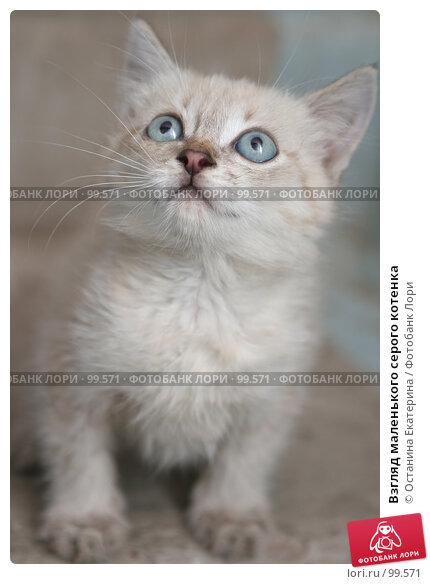 Взгляд маленького серого котенка, фото № 99571, снято 13 сентября 2007 г. (c) Останина Екатерина / Фотобанк Лори