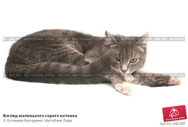 Купить «Взгляд маленького серого котенка», фото № 242347, снято 22 февраля 2008 г. (c) Останина Екатерина / Фотобанк Лори