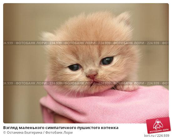 Взгляд маленького симпатичного пушистого котенка, фото № 224939, снято 4 марта 2008 г. (c) Останина Екатерина / Фотобанк Лори