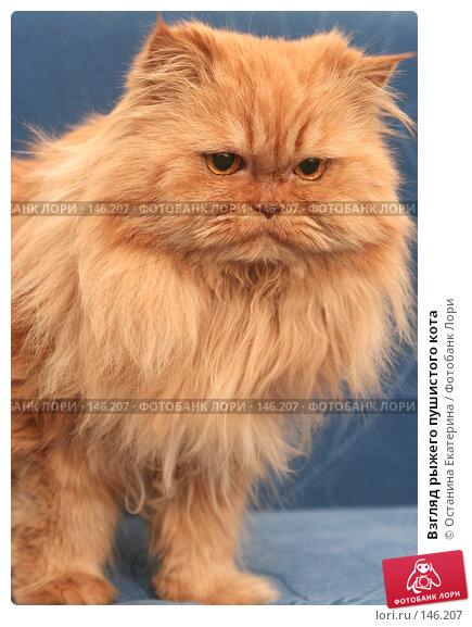 Взгляд рыжего пушистого кота, фото № 146207, снято 5 декабря 2007 г. (c) Останина Екатерина / Фотобанк Лори