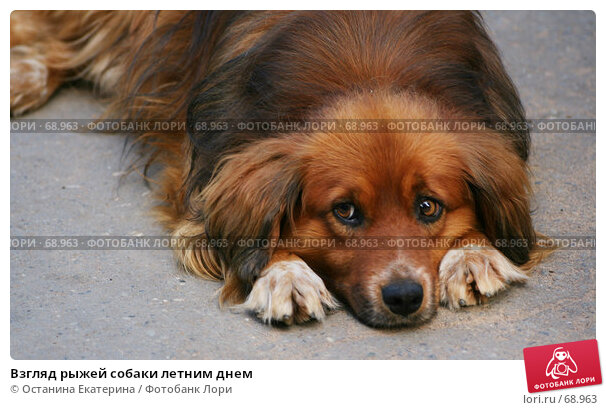 Взгляд рыжей собаки летним днем, фото № 68963, снято 25 июля 2007 г. (c) Останина Екатерина / Фотобанк Лори
