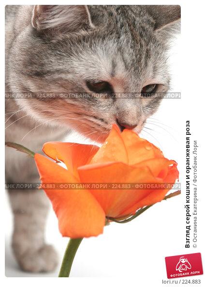 Взгляд серой кошки и оранжевая роза, фото № 224883, снято 28 января 2008 г. (c) Останина Екатерина / Фотобанк Лори