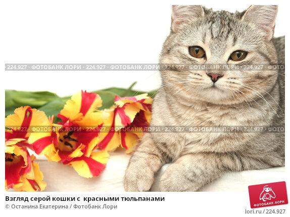 Взгляд серой кошки с  красными тюльпанами, фото № 224927, снято 7 марта 2008 г. (c) Останина Екатерина / Фотобанк Лори