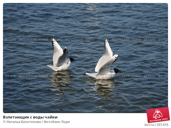 Взлетающие с воды чайки, фото № 257615, снято 29 марта 2008 г. (c) Наталья Белотелова / Фотобанк Лори