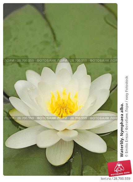 Купить «Waterlily. Nymphaea alba.», фото № 28700559, снято 12 июня 2018 г. (c) easy Fotostock / Фотобанк Лори