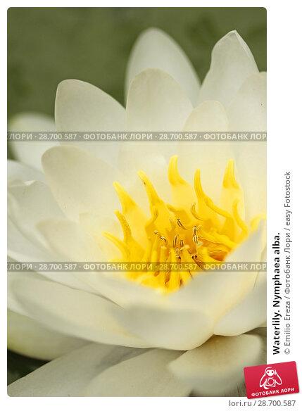 Купить «Waterlily. Nymphaea alba.», фото № 28700587, снято 12 июня 2018 г. (c) easy Fotostock / Фотобанк Лори