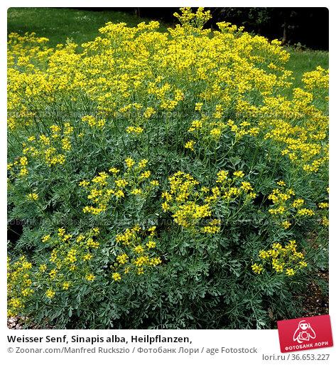 Weisser Senf, Sinapis alba, Heilpflanzen, Стоковое фото, фотограф Zoonar.com/Manfred Ruckszio / age Fotostock / Фотобанк Лори