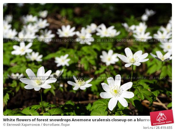 Купить «White flowers of forest snowdrops Anemone uralensis closeup on a blurred dark background from ground level», фото № 28419655, снято 12 мая 2018 г. (c) Евгений Харитонов / Фотобанк Лори