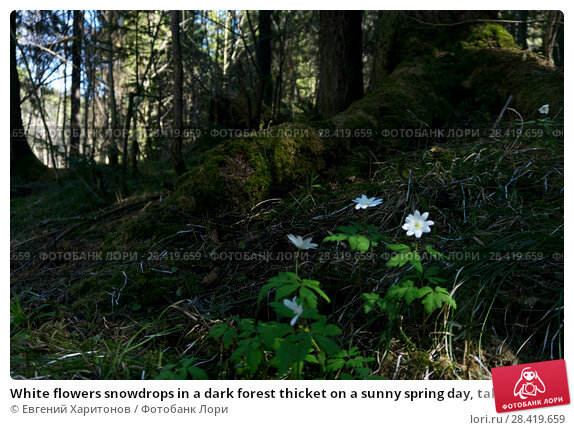 Купить «White flowers snowdrops in a dark forest thicket on a sunny spring day, taken from the ground level», фото № 28419659, снято 12 мая 2018 г. (c) Евгений Харитонов / Фотобанк Лори