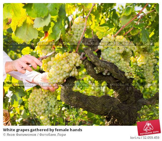White grapes gathered by female hands. Стоковое фото, фотограф Яков Филимонов / Фотобанк Лори