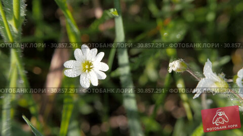 Купить «White meadow flower on a blurred background of grass. Flower sways on a thin stalk.», видеоролик № 30857291, снято 20 мая 2019 г. (c) Константин Мерцалов / Фотобанк Лори